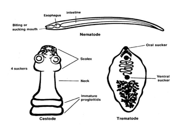 hymenolepidosis betegség hogyan lehet eltávolítani a férgeket a csigaból