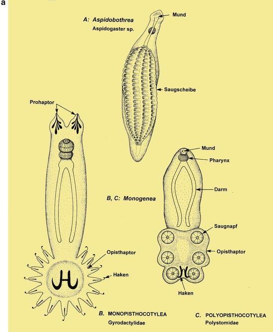 Ascaridosis Helix piperazin féreg gyógymódok