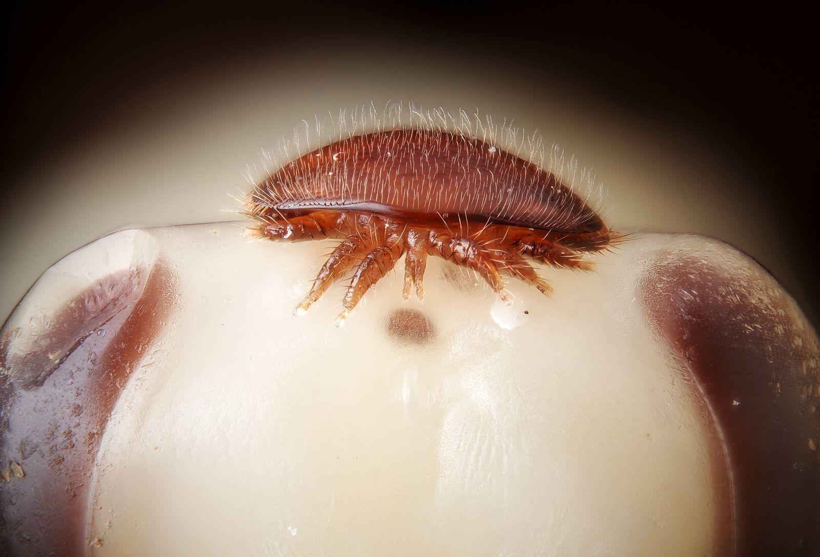 acanthocephalans paraziták