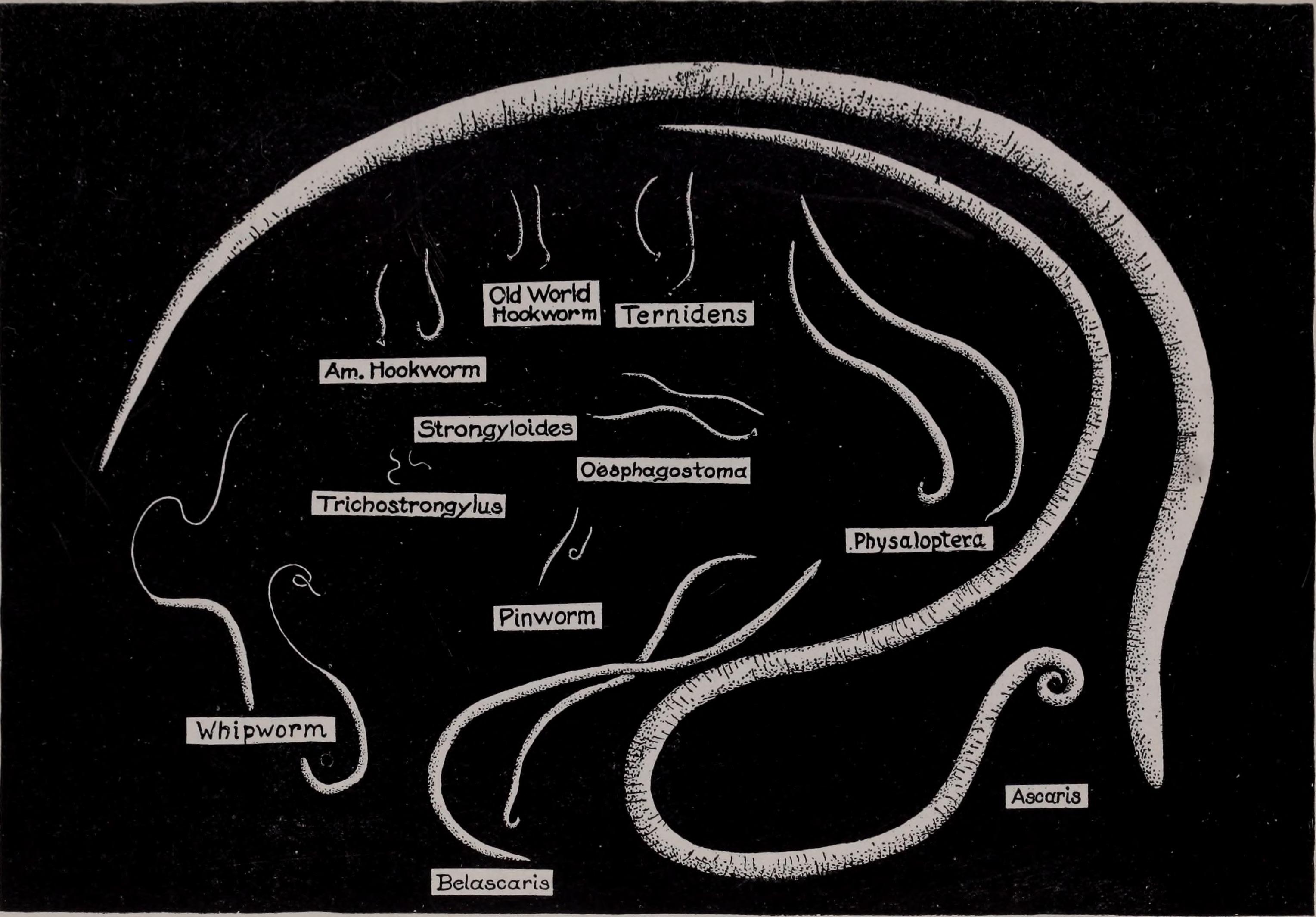 Pinworms kezelése: tünetek és gyógyszerek, Pinworm trichocephalosis