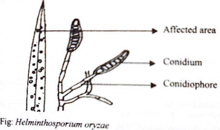 helminthosporium conidia