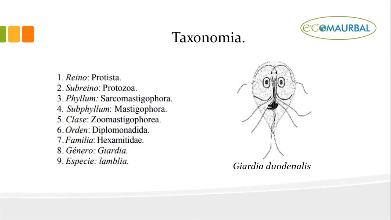 Giardia-fertőzés (giardiasis) A giardiasis morfológiája - Giardiasis morfológia