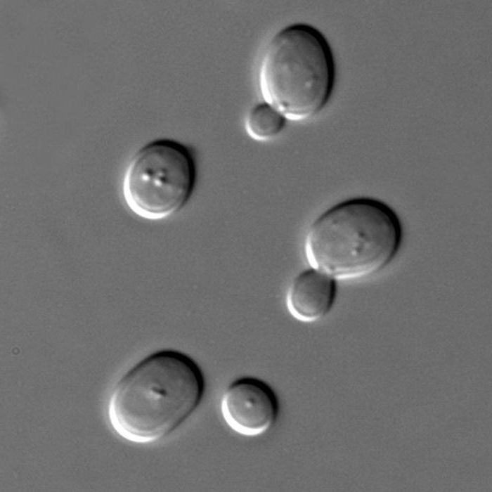 blastocysta férgek