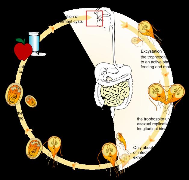 Giardia contagio uomo, Hpv szemolcs gyogyszer