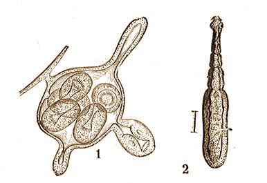 a galandféreg osztály jellemzői