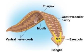 phylum platyhelminthes képek névvel kell inni tablettákat a férgek megelőzésére