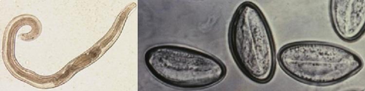 paraziták az arcon, hogyan kell kezelni enni galandférgeket