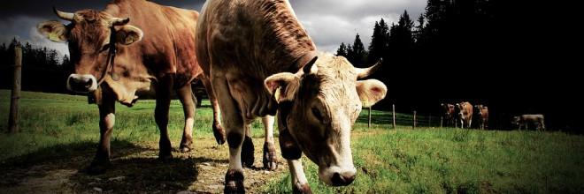 Hogyan gyógyíthatjuk meg a szarvasmarha- féreg