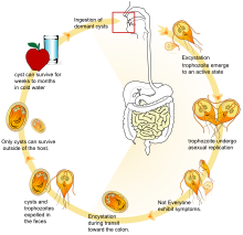 Giardia infektion symptome - Dr. Diag - Giardiasis