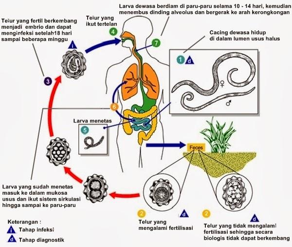 giardiasis protozoa képek az emberi testben élő parazitákról