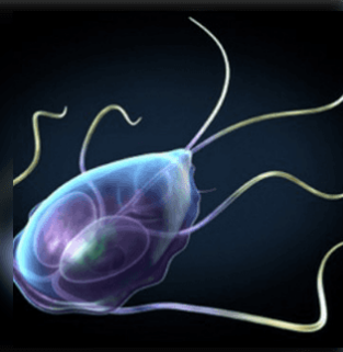 Felnőtt férgek Platyhelminthes és fonálféreg