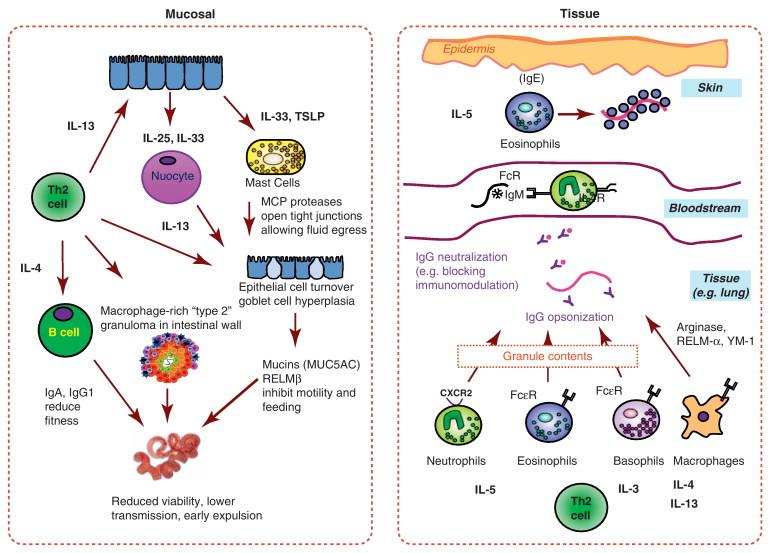 strongyloidosis biohelminth