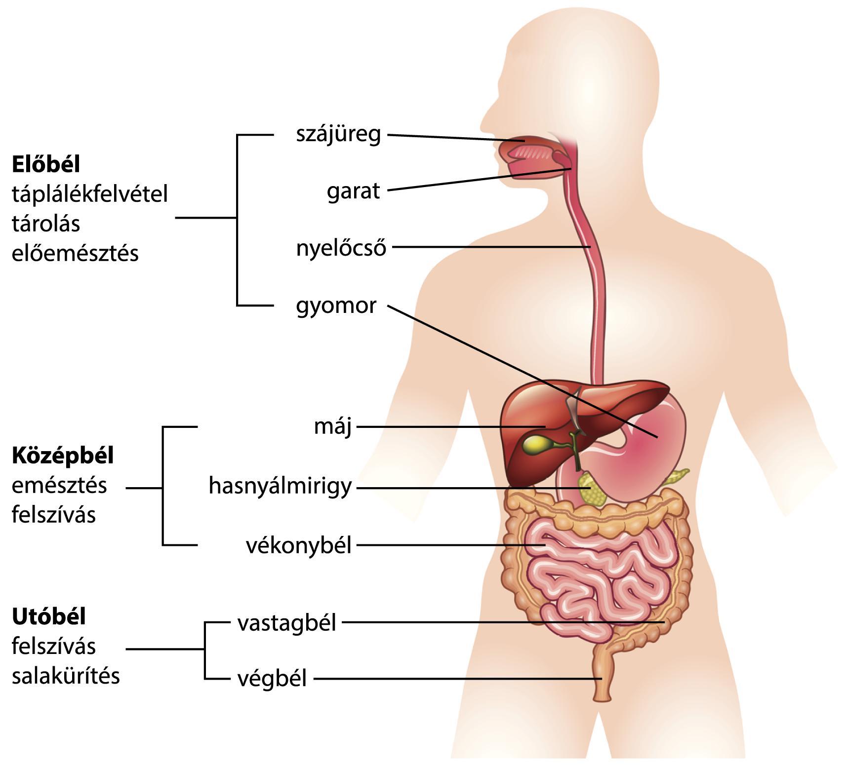 szag a nyelőcső szájából epeúti diszkinézia és rossz lehelet