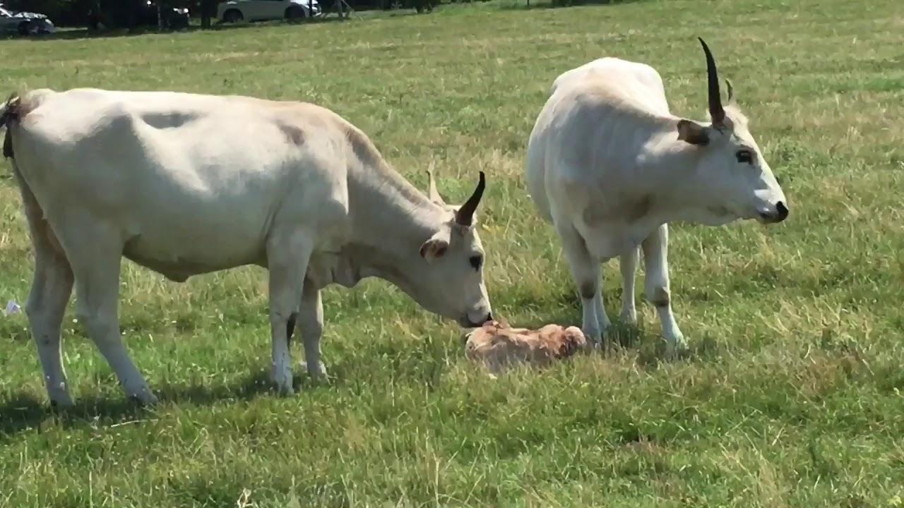 Hogyan lehet eltávolítani egy szarvasmarha féreg gyermekéből. Féreg bika szalagféreg - blonder.hu