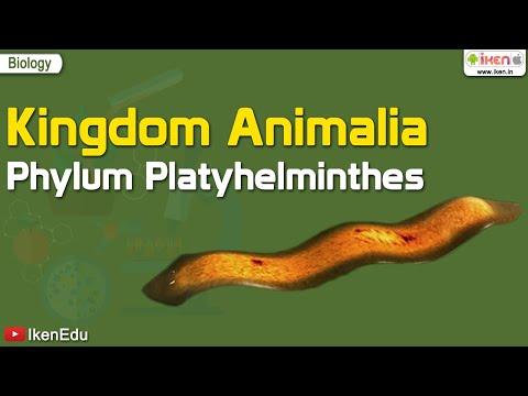 Platyhelminthes turbellaria fajok Planaria – Wikipédia