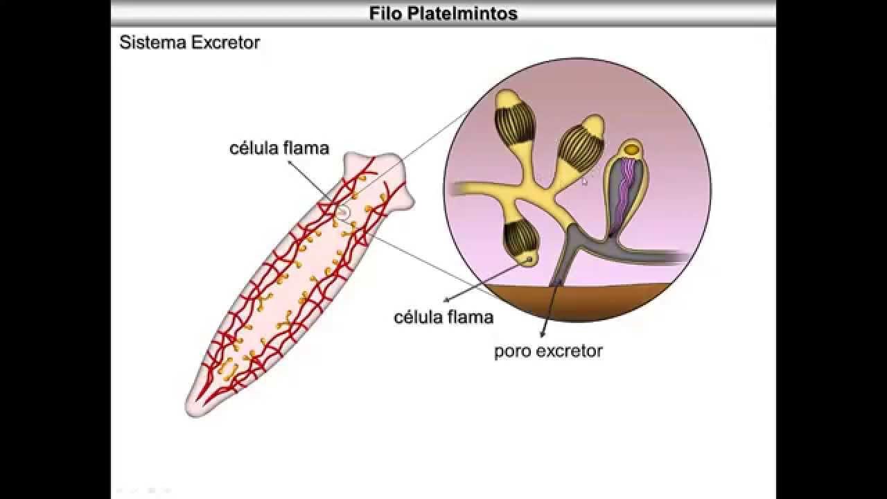 Filo platyhelminthes példák - Az emberi paraziták tüdő tünetei és kezelése