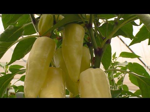 pinworm tojások a környezetben betegségek kezelése férgekkel
