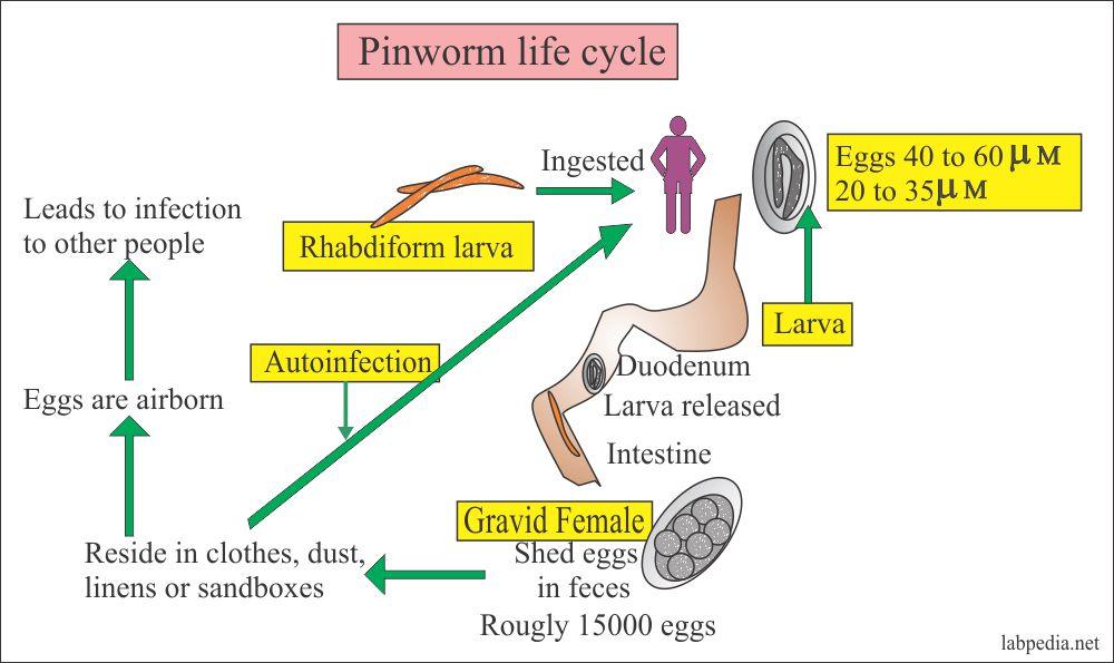 a pinworm test farok vége