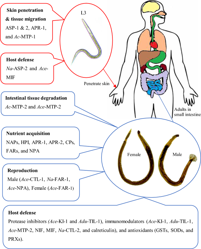Ascaris kezelés alternatív módszerekkel enterobiosis perm