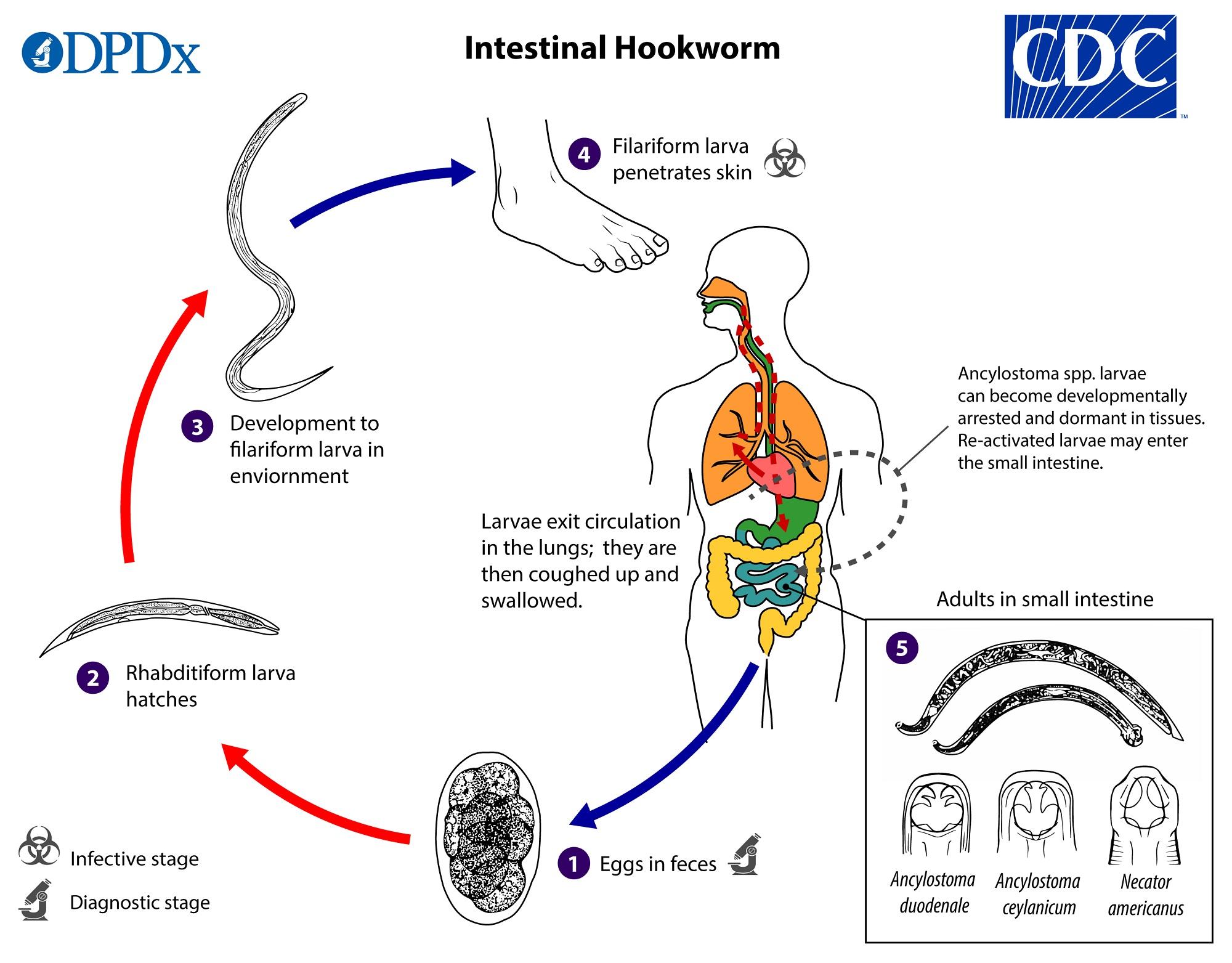 aszcariasis hookworm fertőzés noncatorosis pratel féreghajto ara