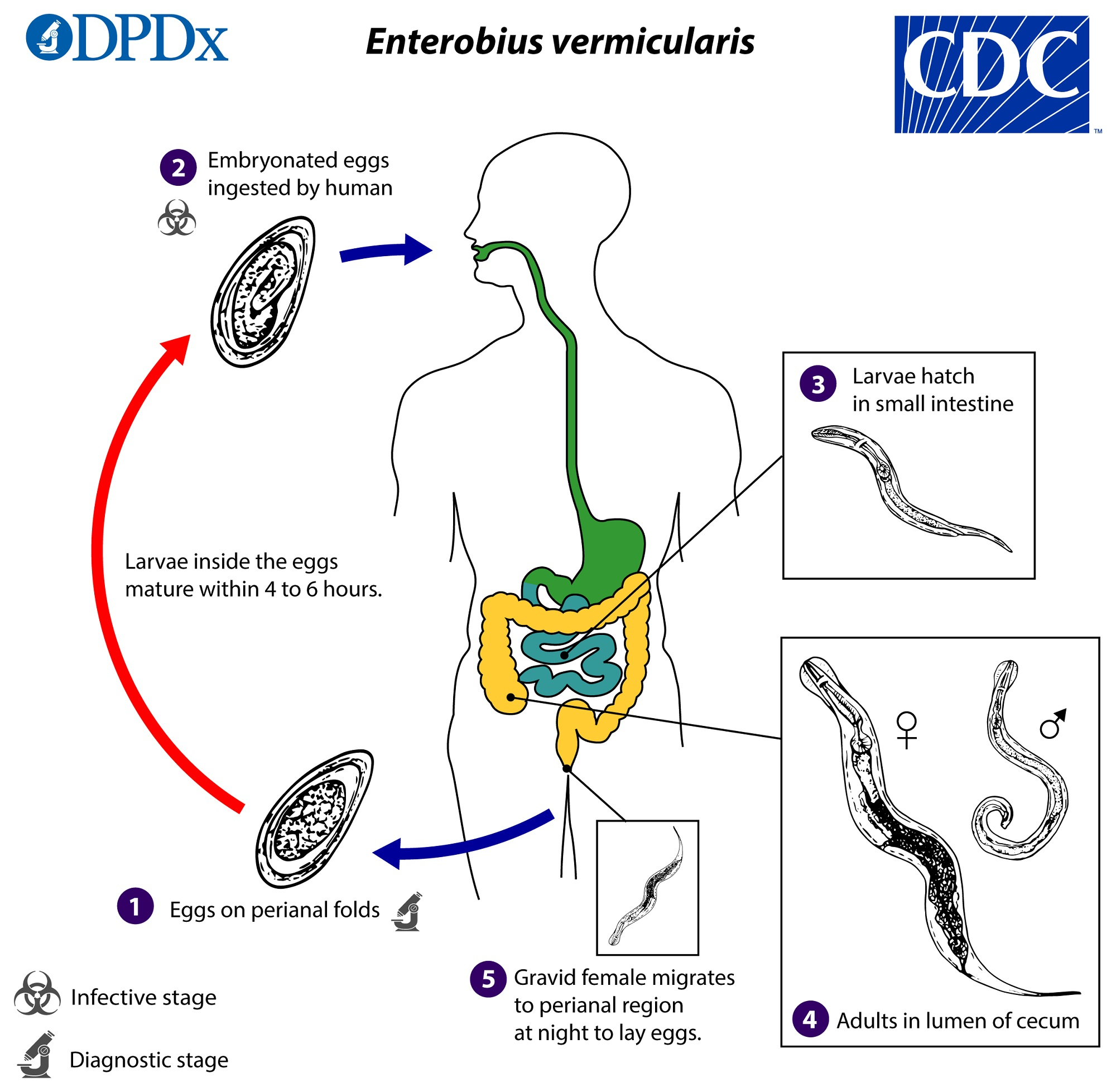 Enterobiasis férgek