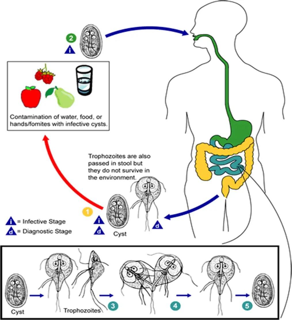 meleg giardiasis