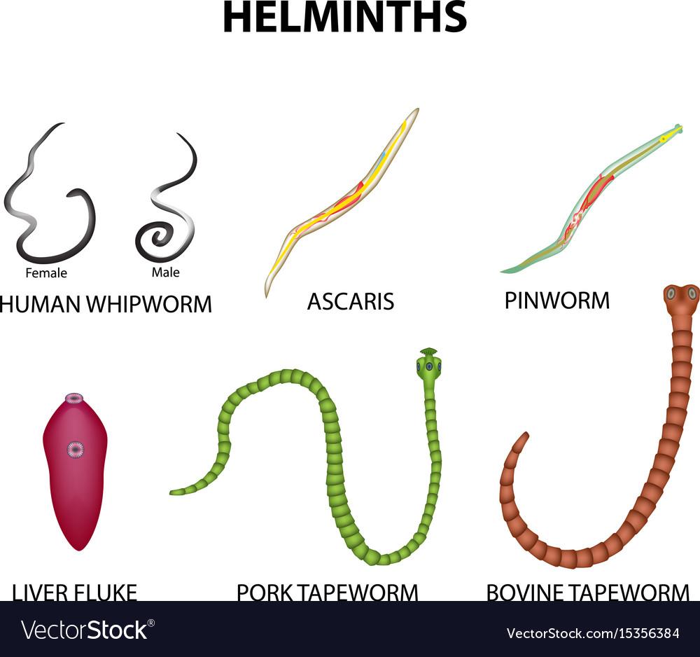 pinworm helminthiasis írj egy bika lánc fejlesztési ciklust