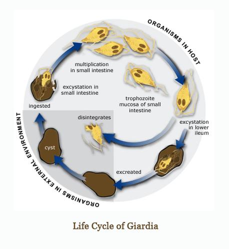 giardia gatto guarigione paraziták gyomortünetekben
