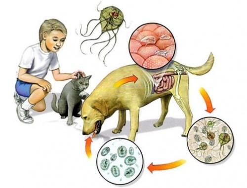 Giardia infectie mens