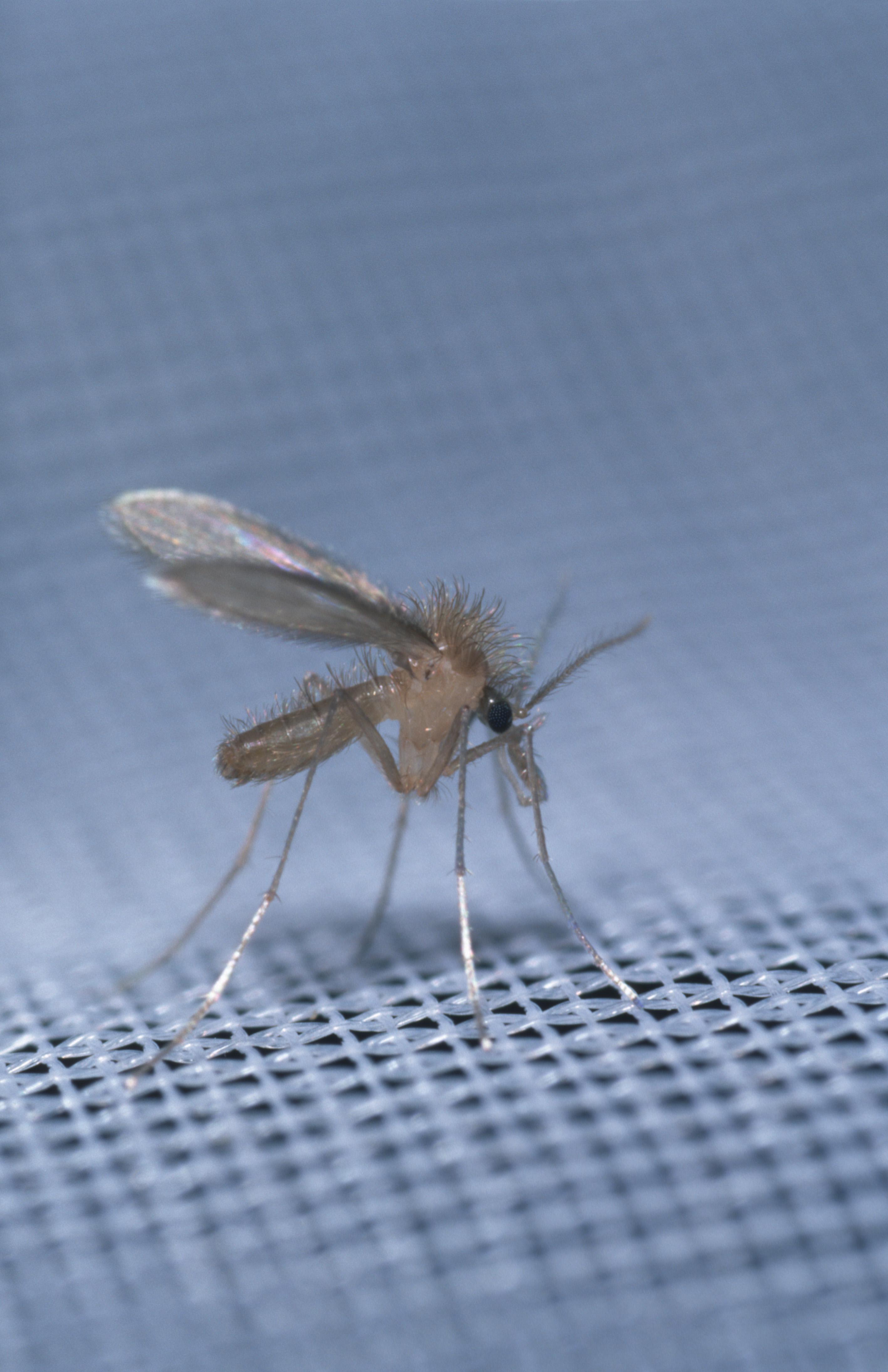nem specifikus paraziták pinworm külső szerkezete