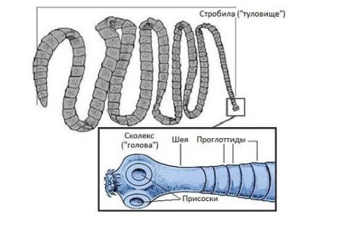 Parazita lentec széles körű kezelés, Helminth lentec széles körű megsemmisítési módszerek