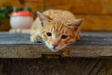 pasozyt giardia u kota