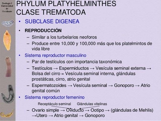 Phylum platyhelminthes taxonómia. Állatrendszertan