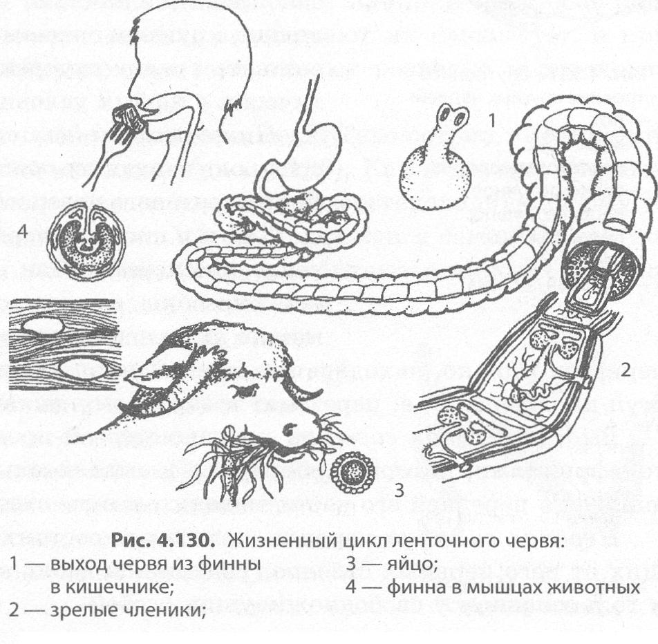 platyhelminthes szalagféreg jellemzői