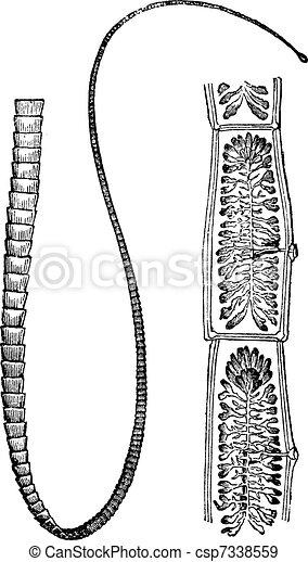Szalagféreg mentes - Feline tapeworm fertőzés - kezelhető parazita macskákban