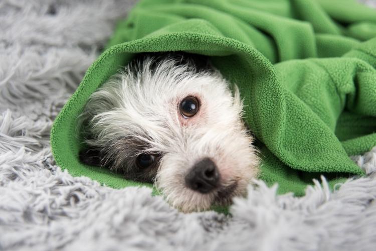 A szívférgesség tüneteinek megértése és felismerése kutyáknál