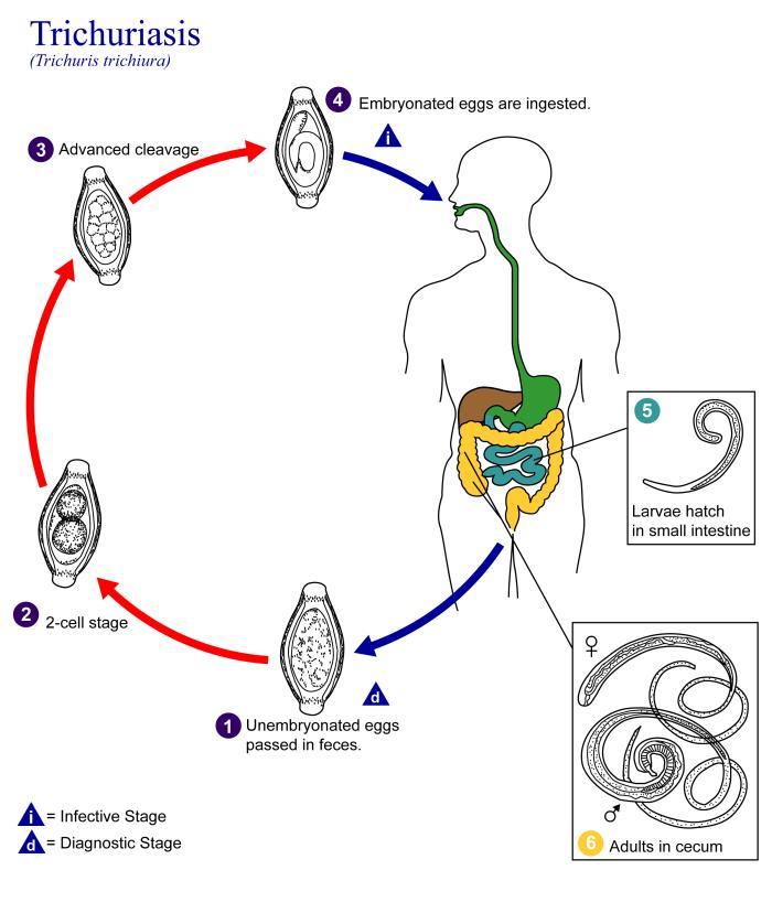 Trichinella fejlődési diagram