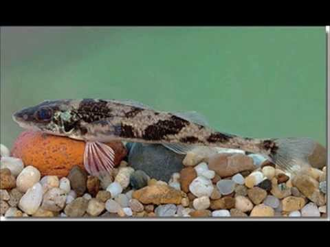 Megszabadulni a folyami halak parazitáitól. Pinworm máj
