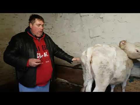 szarvasmarha féreg orvoslás